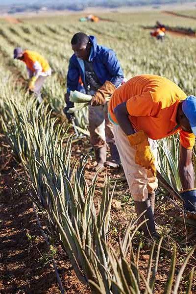 Sorgfältig suchen die Arbeiter die reifen Blätter heraus.