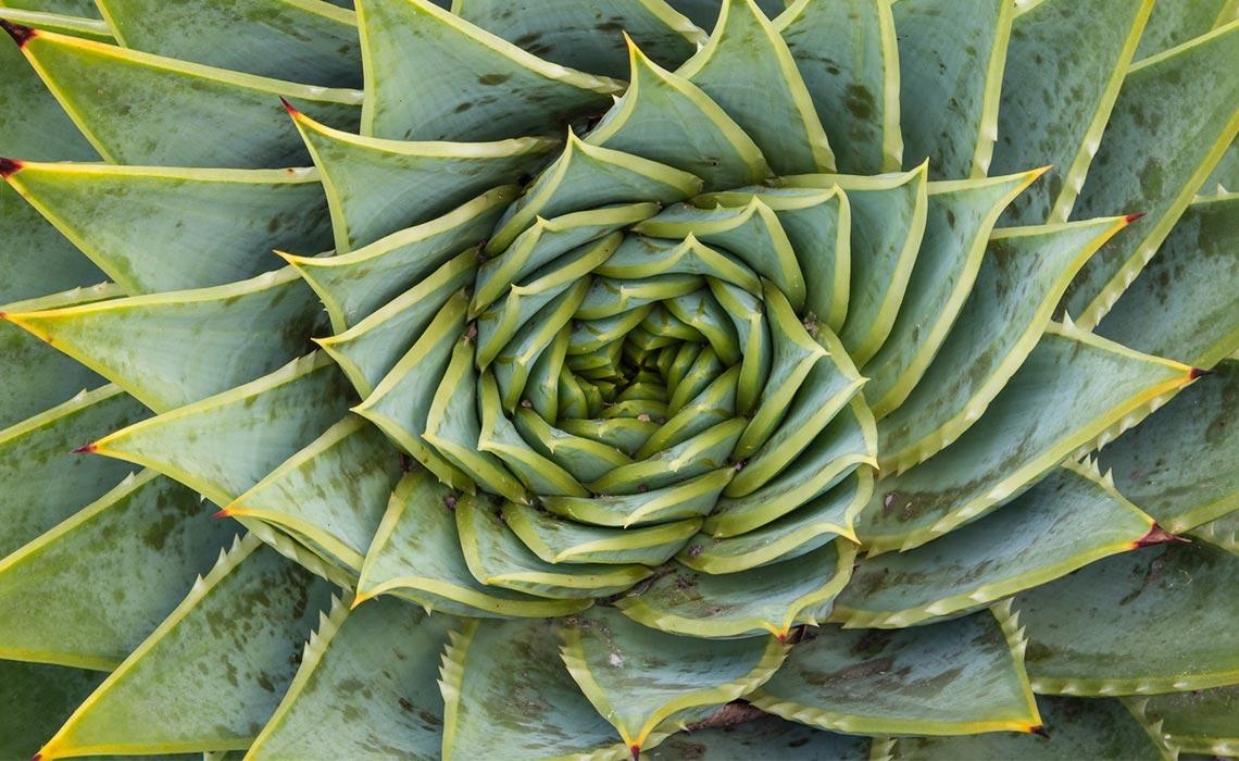 Es gibt viele verschiedene Aloe Pflanzen.