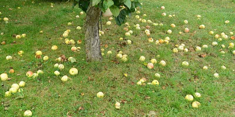 Apple-tree-small