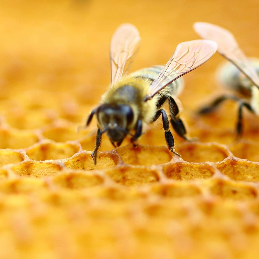 Bienen sammeln den Pollen.